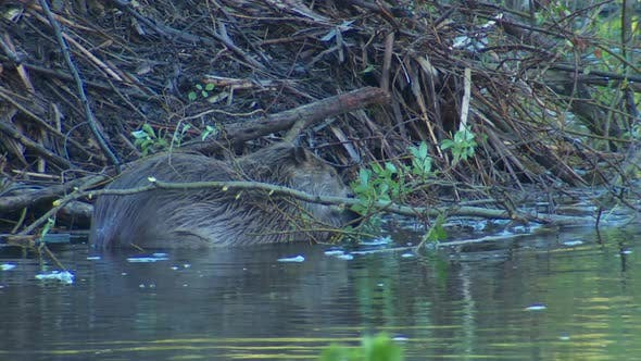 Thumbnail for Beaver Adult Lone Eating Feeding in Spring Dawn Morning Leaves Twigs Eating Chewing