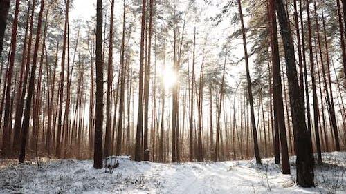 Beautiful Sunset Sunrise Sun Sunshine In Sunny Winter Snowy Coniferous Forest