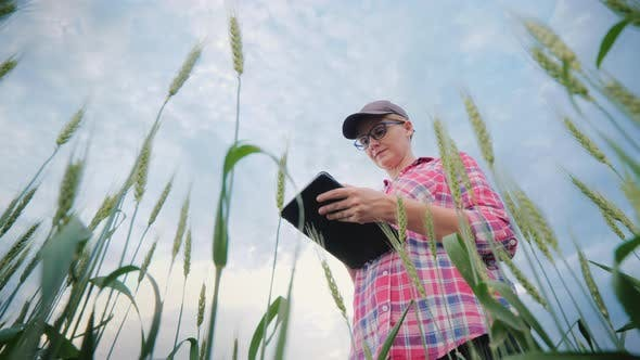Cover Image for Woman Farmer Working in a Wheat Field, Using a Tablet. Low Angle Shooting