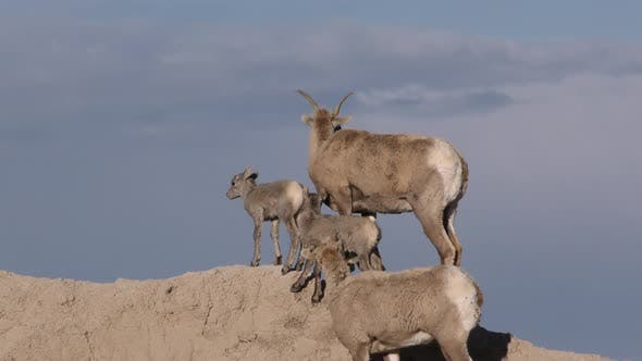 Bighorn Sheep Female Ewe and Fawn Kid Lamb Young Herd Walking Moving on Badlands Ridgeline Skyline