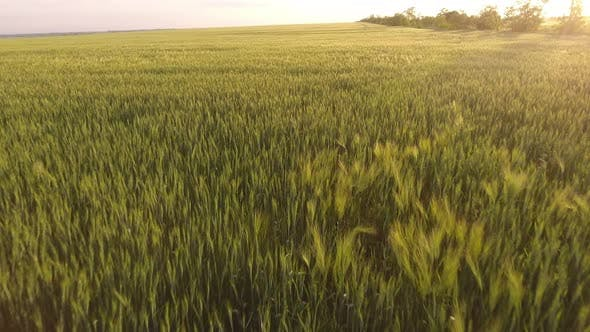 Thumbnail for Aerial of the Sunny Green Wheat Field with Waving Spikelets at Golden Sunset