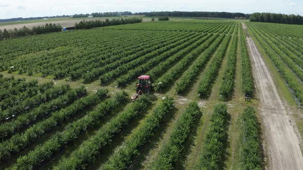 Thumbnail for Tractor Rides Along Green Raws of Blueberry Field on Blueberry Plantation. Removal of Weeds By