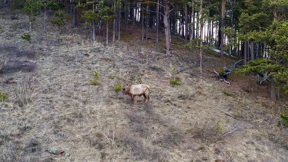 Aerial View of a Wild Deer Grazing in a Forest Meadow