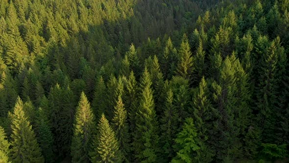 Flying over the beautiful mountain pine forest trees