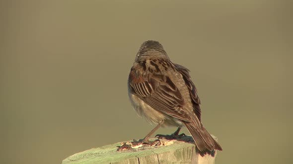 Thumbnail for Dickcissel Male Adult Lone Calling Singing Song in Summer Fencepost