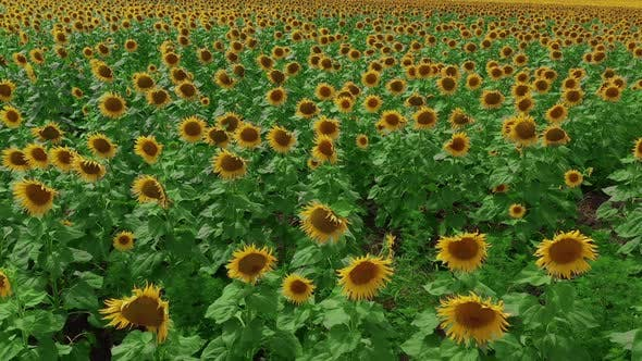 Thumbnail for Aerial View. Flowering Sunflowers. Natural Agriculture. Field Sunflowers.