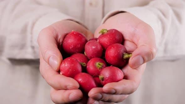 Thumbnail for Organic Vegetables. Farmers Hands with Freshly Harvested Vegetables. Horse Radish