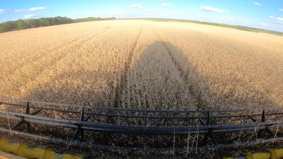 Harvester Gathering Crop of Ripe Wheat in Field