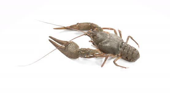 Thumbnail for Live Crayfish on White Background. European Crayfish Astacus Astacus