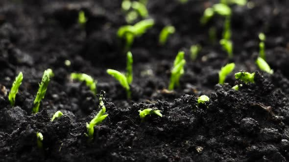 Thumbnail for Growing Plants in Spring Timelapse, Sprouts Germination Newborn Pea Plant in Greenhouse