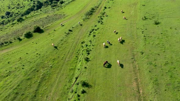 Thumbnail for Flying Over Herd of Cows Grazing in Alpine Meadow