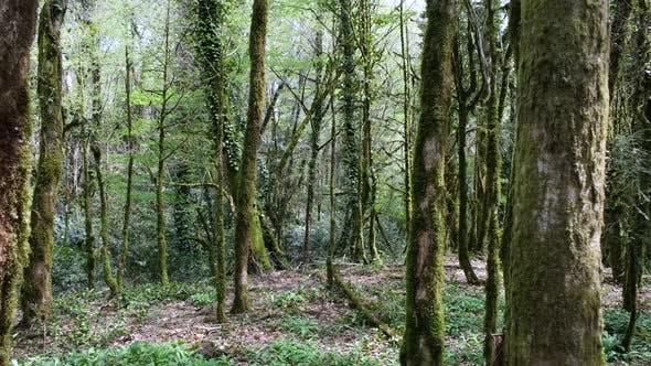 Baum mit Moos und Flechten, Amosibaum