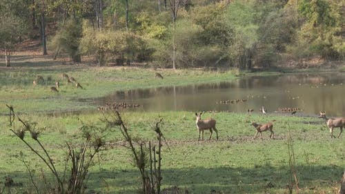 Sambar Doe Female Fawn Kid Young Family Walking Ducks Waterfowl Wetland Biodiversity