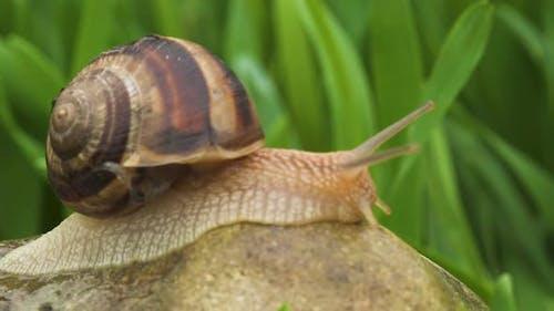 Snail Crawls Along Green Grass
