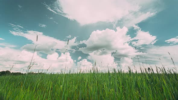 Countryside Rural Field Landscape With Young Green Wheat Sprouts In Spring Springtime Summer Cloudy