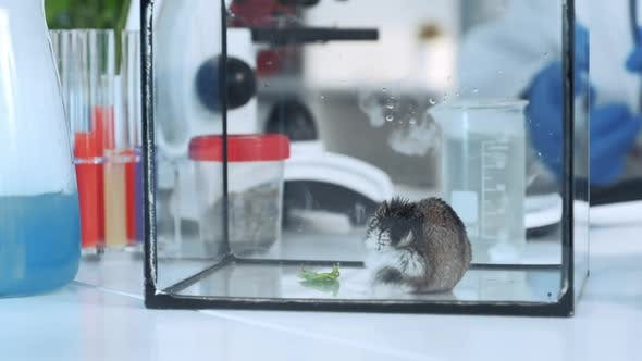 Close-up Shot of Scientist Hand Giving To a Hamster a Plant Leaf To Eat in Chemistry Lab