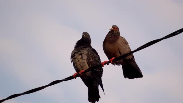 Thumbnail for Two pigeons is stay at electric cable