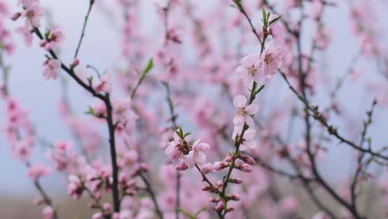 A beautiful Japanese tree branch with cherry blossoms. A lovely scenery