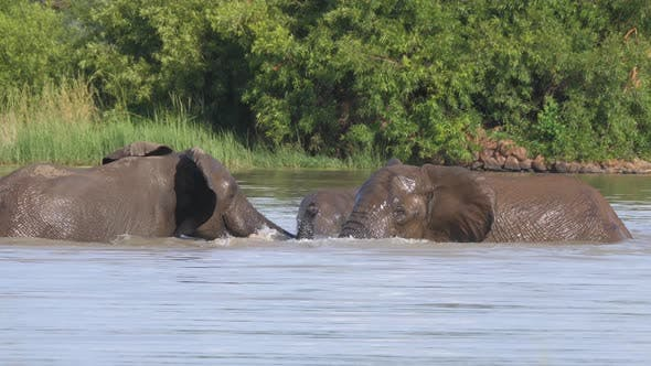 Thumbnail for Elephants fighting in a lake