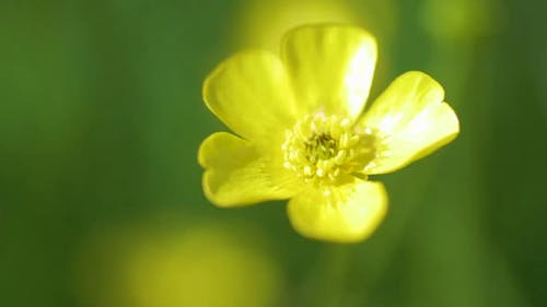 A close-up shot of a yellow Buttercup flower moving in the wind.