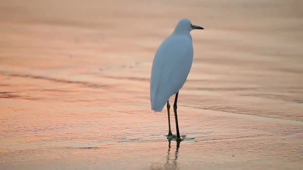 Thumbnail for Great White Egret by the water's edge at sunrise