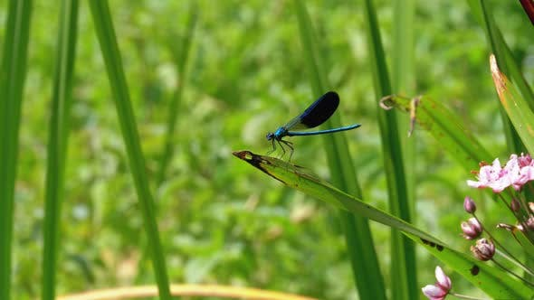 Thumbnail for Dragonfly with Blue Wings Sitting on a Branch on a Background of the River