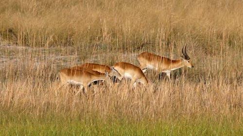 herd of southern red lechwe, Namibia Africa safari wildlife