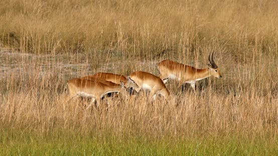 herd of southern red lechwe, Namibia Africa safari wildlife