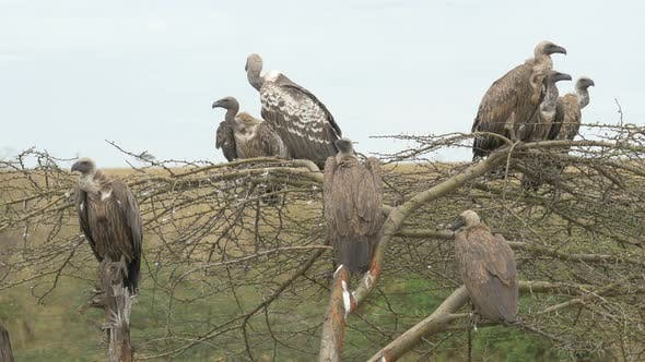 Thumbnail for White-backed vultures in Africa