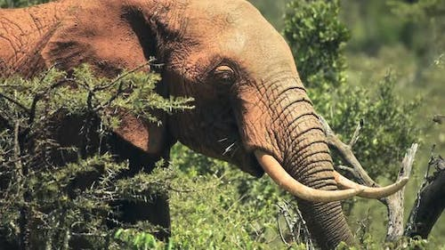 Elephant eating in the Kenyan bush, Africa, on a sunny day