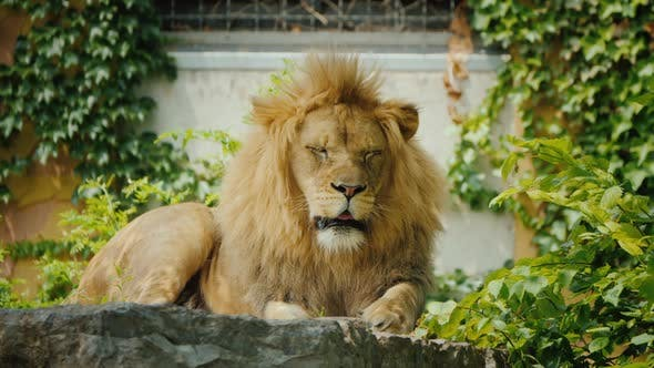 Thumbnail for Big and Beautiful Lion Resting on the Stones Among the Thickets