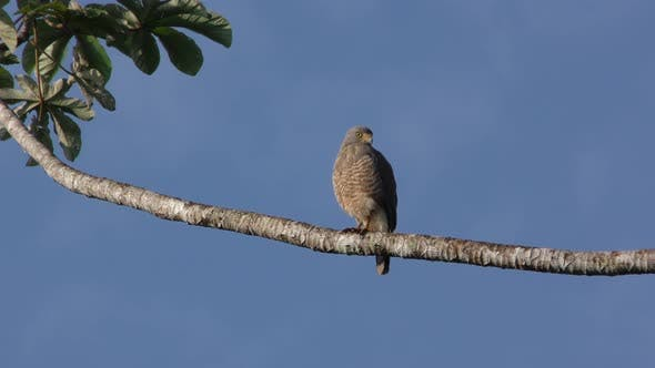 Hawk Adult Lone Perched in Spring in Belize Central America