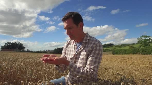 Farmer examining wheat