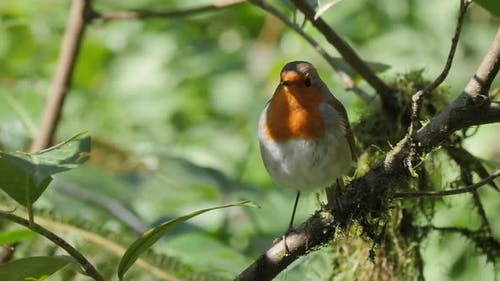 European Robin Sitting on Tree Branch. Erithacus Rubecula in Forest. Robin or Robin Redbreast. Slow