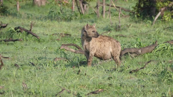 Thumbnail for Pregnant spotted hyena looking around the bush