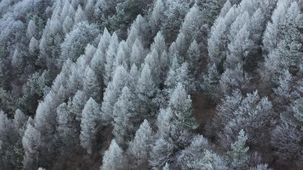 White Pinewood Forest