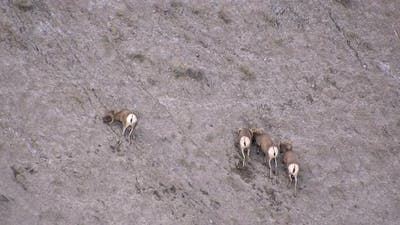 Four bighorn sheep digging and licking dirt on hillside