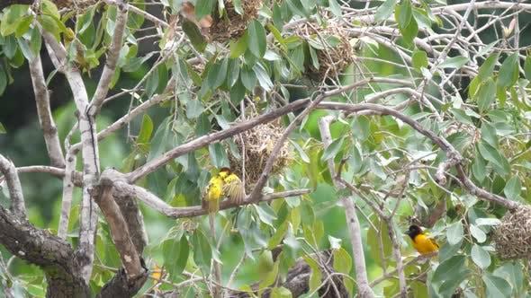 Weaver birds building a nest