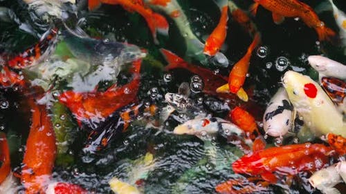 Koi fish or carp fish swimming in the pond