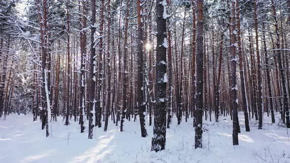Sonnenuntergang im Wald zwischen den Bäumen Stämme in der Winterzeit