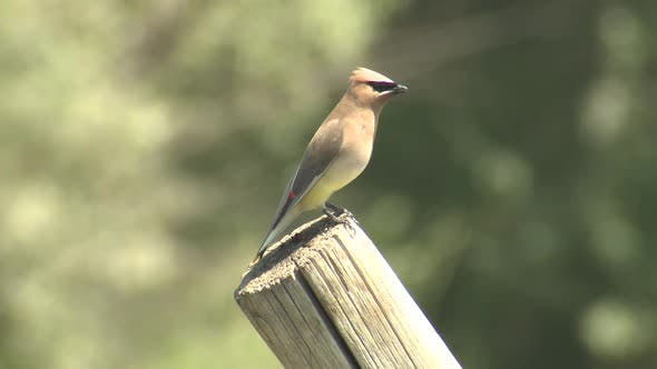 Thumbnail for Cedar Waxwing Sonbird Perched Looking Around in Summer on Pole or Post