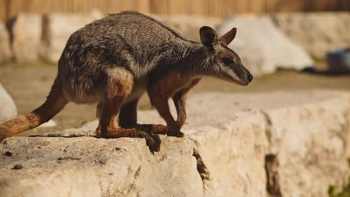 Close up of Yellow-footed rock-wallaby standing on the rock