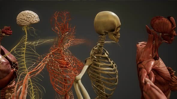 Cover Image for Animated 3D Human Anatomy Illustration