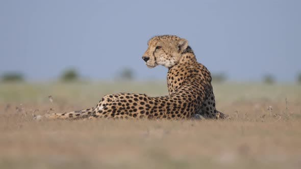 Thumbnail for Cheetah seen from the back laying on the savanna
