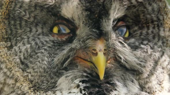 Thumbnail for Great Gray Owl Strix Nebulosa is a Very Large Owl