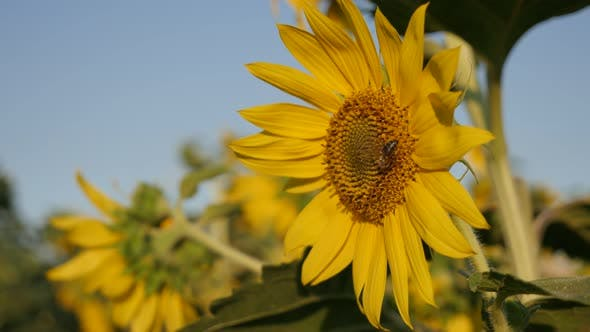 Thumbnail for Insects over  Helianthus plant 3840X2160 UltraHD footage - Sunflower and bees  background   3840X216