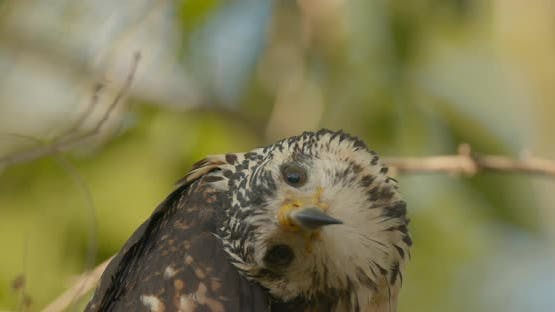 Gray Hawk Immature Lone Perched Looking Around Face Eyes Turning Head