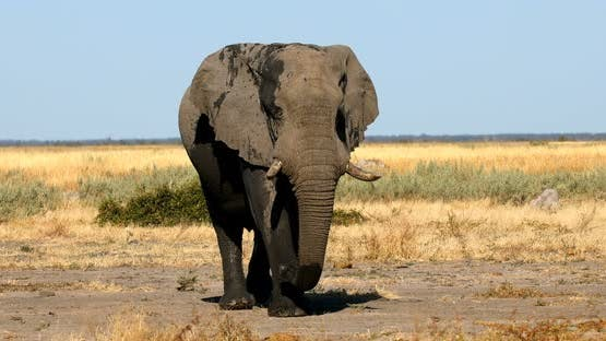Elephant in Chobe, Botswana, Africa wildlife safari.