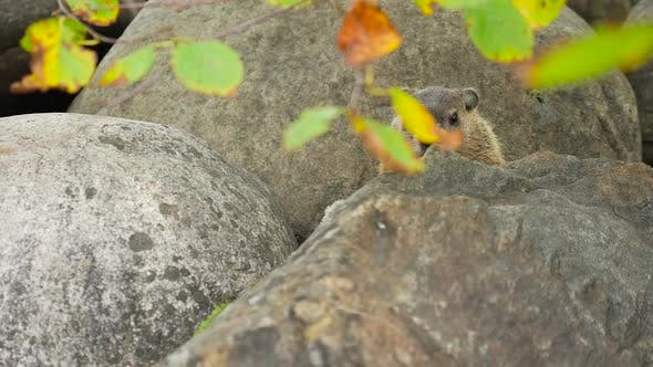 Thumbnail for A Ground Hog Sitting In Between Large Rocks 1