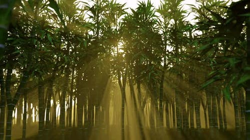 Bamboo Forest Sunset